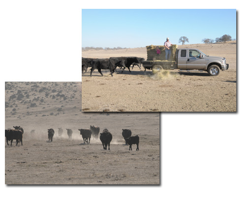 Upper right photo Rancher feeding hay; Bottom left image of cattle coming into feed